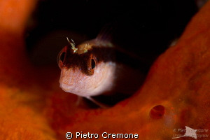 Blenny by Pietro Cremone 